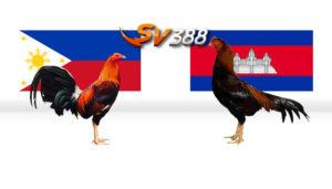 Perbedaan Sabung Ayam Filipina dan Kamboja