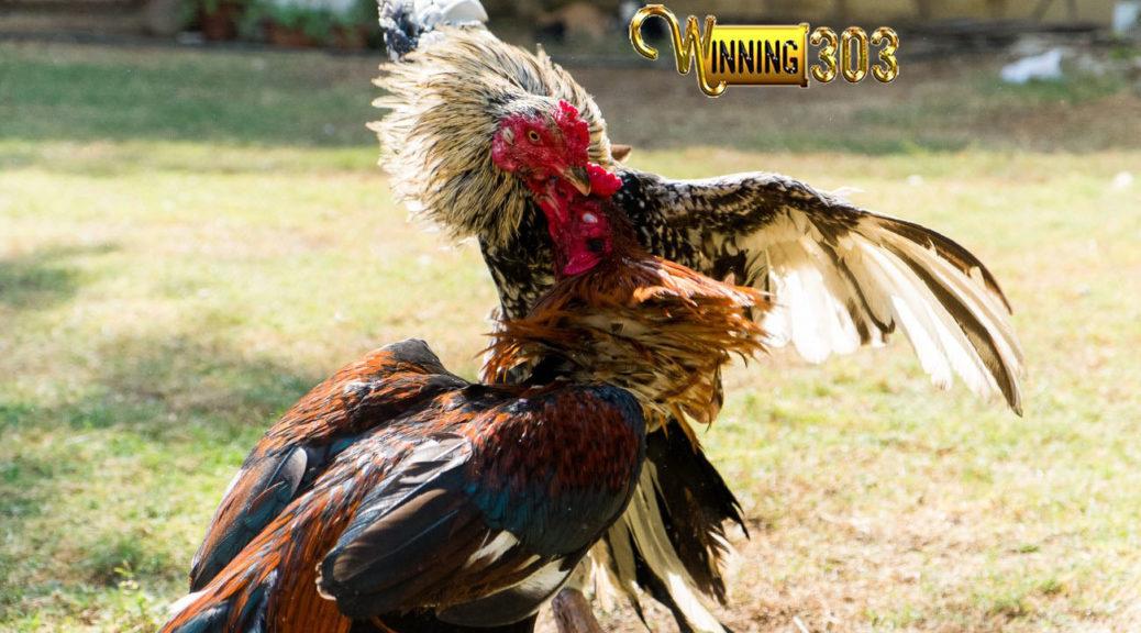92 Gambar Ayam Petarung Terbaik